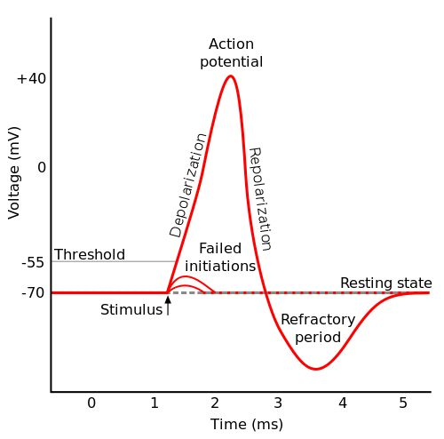 Stages of the Action Potential