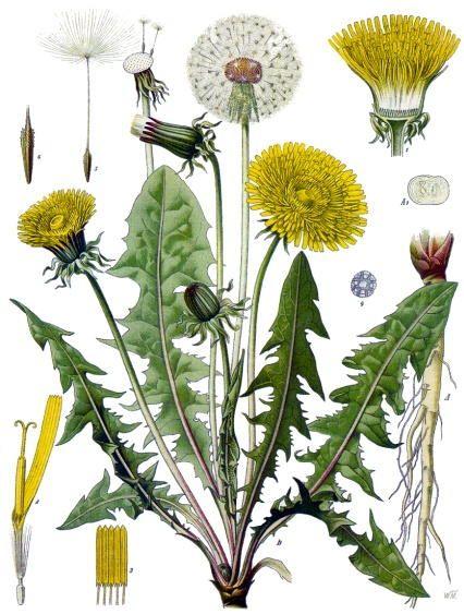 Nombre vulgar: Diente de León  Nombre científico: Taxaracum officinale  Familia: Asteraceae   Orden taxonómico: Angiospermas - Dicotiledóneas