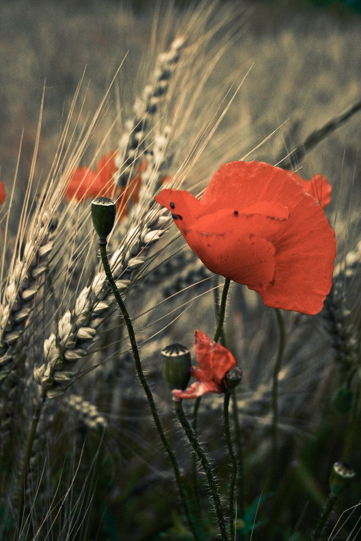 poppies and wheat *the upper-hand will be a vermillion, before the fingers.
