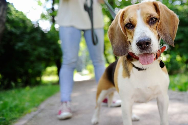 Learn How To Train Your Beagle Dog To Come Back Using Recall Game