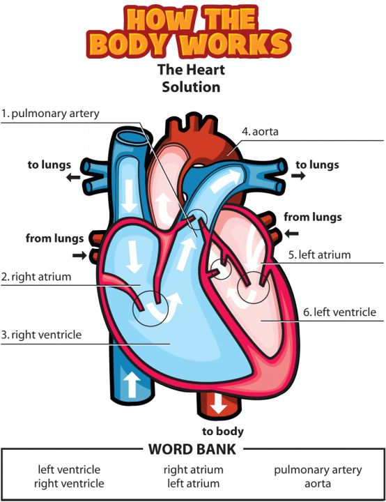 9  Heart Diagram Worksheet For Life Science -    Printable 9