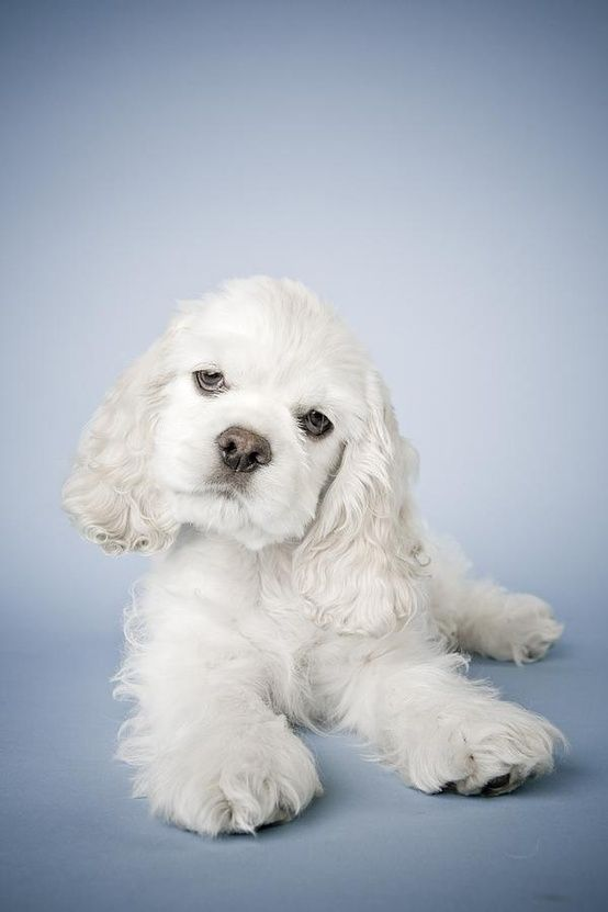Cocker Spaniel-- No such thing as a white cocker, just dishonest and dangerous breeders,