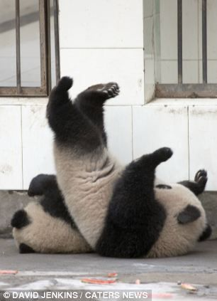Fallen at the first hurdle: The panda could not reach the set of railings and tumbled onto another dozing cub