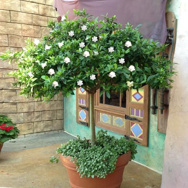 Pin By Cj Connor On Front Landscape Gardenia Trees Patio Trees Hibiscus Tree