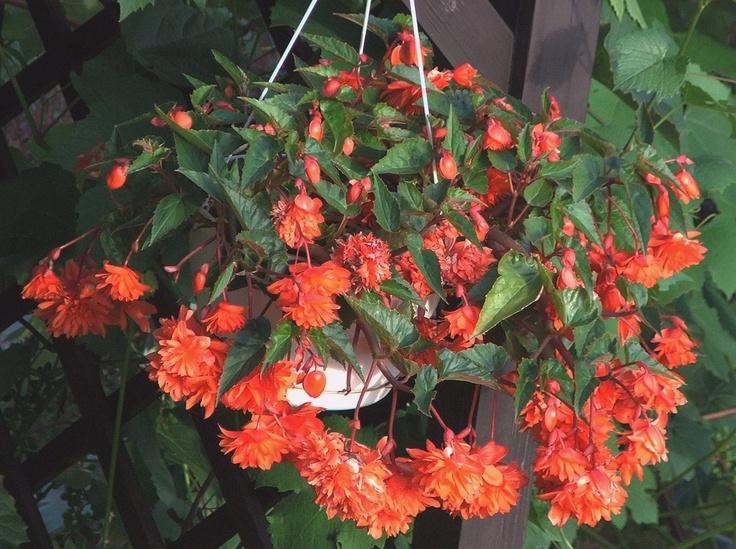 Begonia zwisająca: Zhorticulturezon 10, Growing Plants, Spots, Gardens Shady, Begonia Zwisająca, Gardens Moments What, Flowers Plants, Gardens Momentswhat, Tuber Begonia