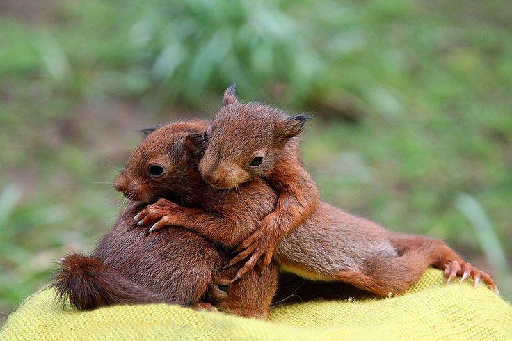 Loving red squirrels