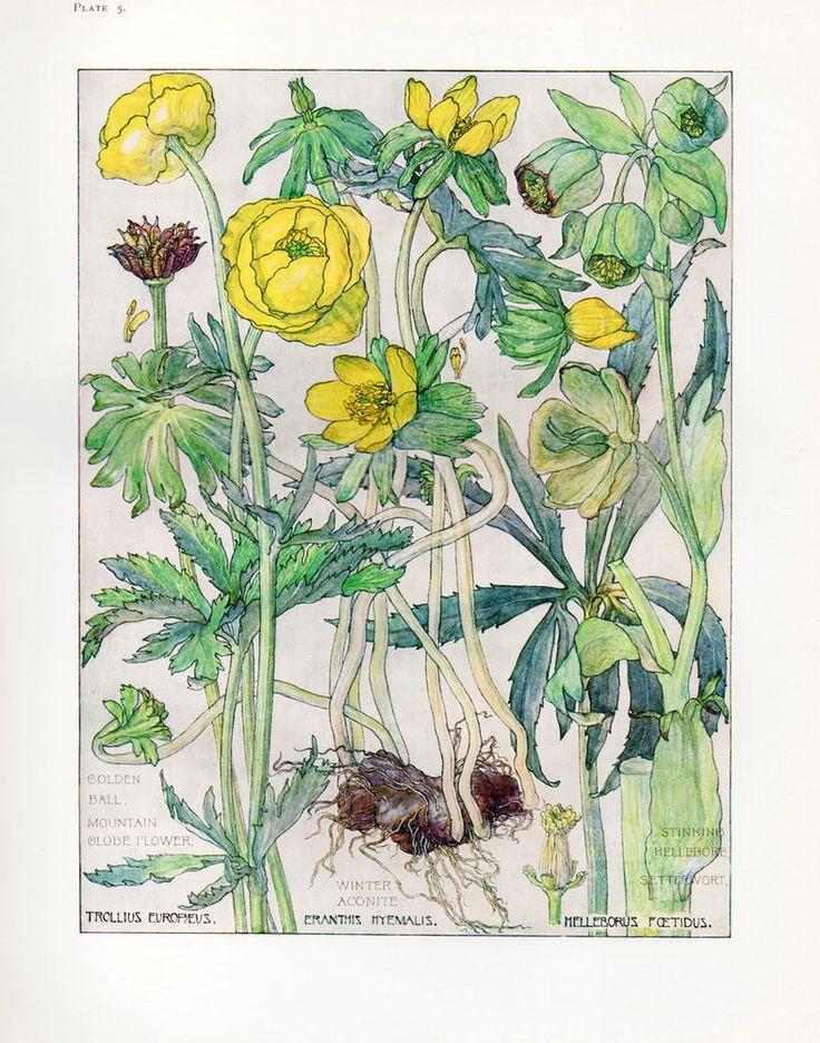 Botanical Print - Globe Flower by Isabel Adams - British Wild Flowers