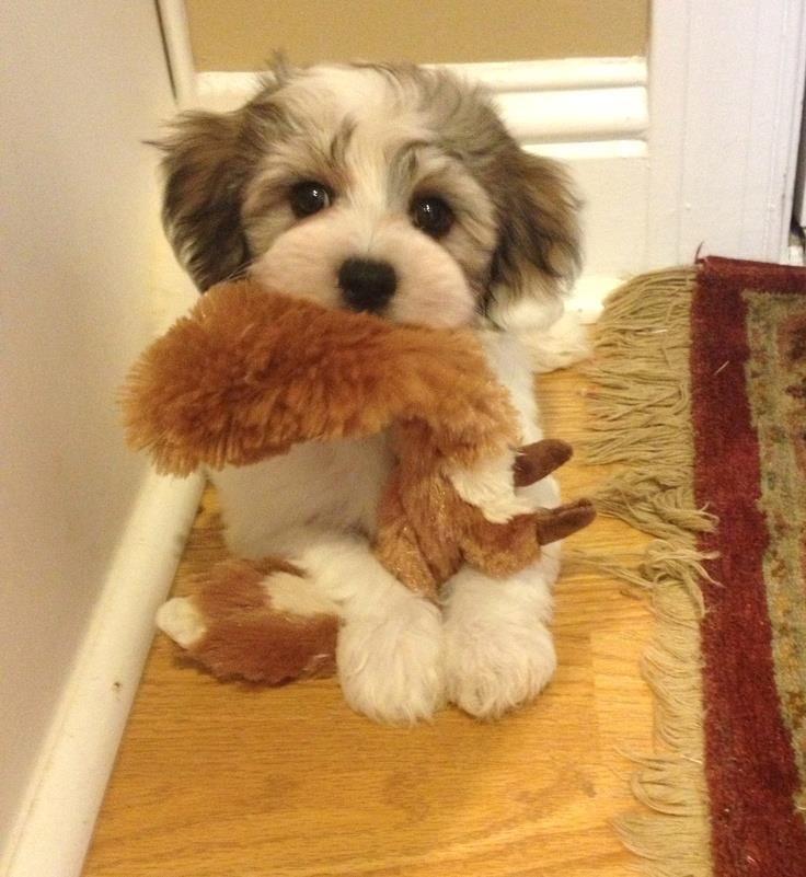 "490 Likes, 5 Comments - Havanese Dogs  (@havanesemoments) on Instagram: ""Amazing!"""