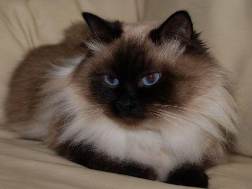 Pictures of Siberian Kittens | Siberiancats.pl - Siberian Cats - Neva Masqarade - Koty Syberyjskie