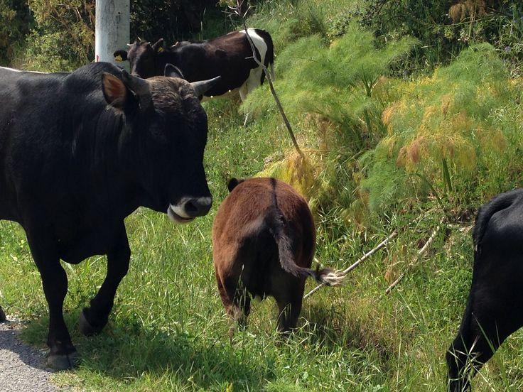 Wo eine Kuh ist, gibt es in der Regel noch einige mehr. Bodrums Kühe wandern gern an den Strand oder in die Berge.