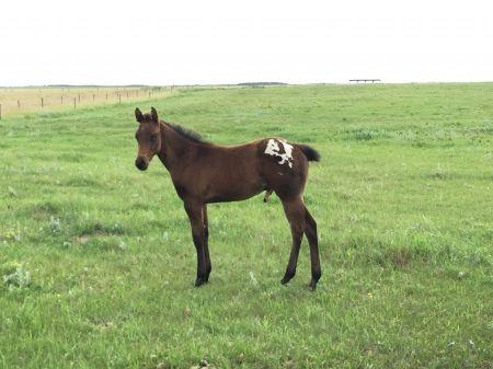 Horse Details - Appaloosa Horses for Sale