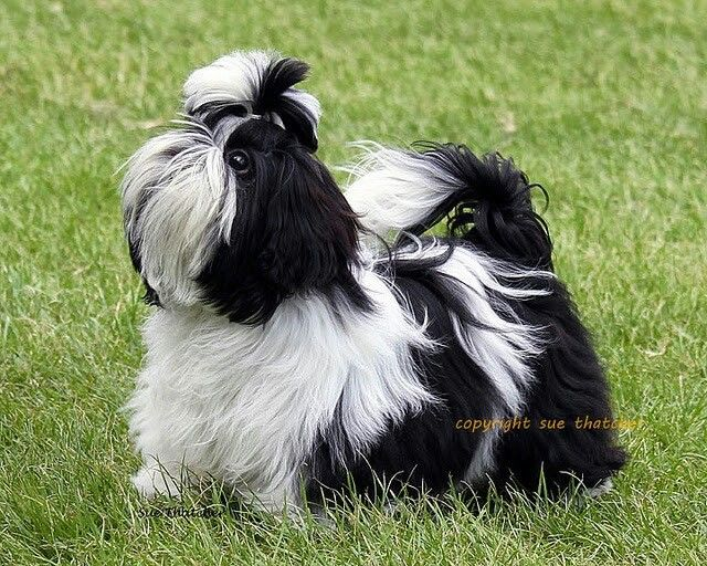 shih tzu hair care 1000 images about shih tzu on pinterest big thing 9300