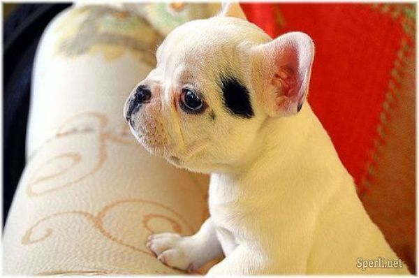 French Bulldog Puppy: Spots, Cute Puppies, Little Puppies, French Bulldogs Puppies, Cutest Dogs, Pet, Baby Bulldogs, French Bulldog Puppies, French Bull Dogs