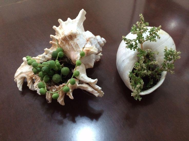 Mini suculentas nas conchas