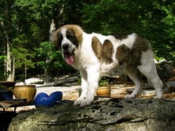 Nope - not a Saint Bernard or a mix breed. It's a Pyrenean Mastiff from the Pyrenees region. Very old breed that almost died out during WWI. AKC recognized.