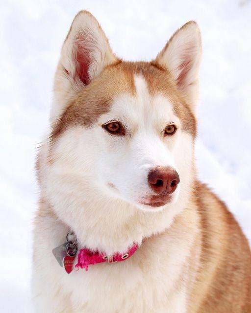 Siberiano rojo #Perro