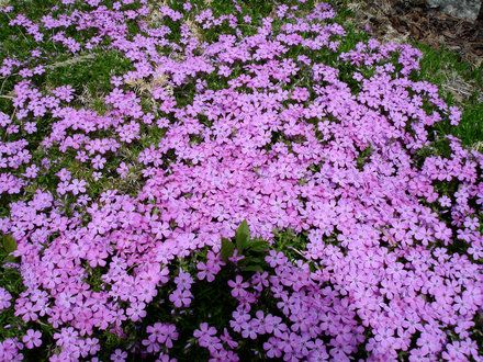 How to Plant a Creeping Phlox, Partial to Full Shade Plant