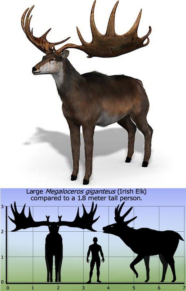 Megaloceros (Irish Elk Giant Deer) http://en.wikipedia.org ...
