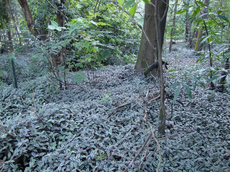 Planta perene, da família Commelinaceae, adapatada a sombra e sol.