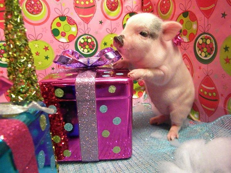 Pin Von Die Dani Auf Schwein Minischwein Kleine Schweine Schwein