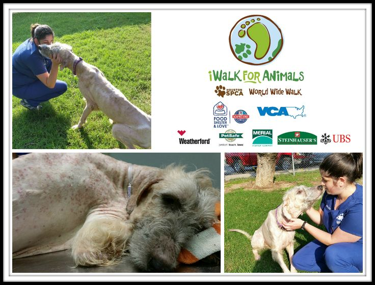 """The iWalk is a unique way for you to walk ANYtime and ANYwhere on Sunday, Nov. 9, to help us give animals a second chance at life. If you are an """"early bird,"""" you can walk in the morning.  If you are a """"night owl,"""" you can walk in the evening.  If you are too tired, just stay in bed and take a """"cat nap.""""  A donation to the Houston SPCA Team helps us give animals, like Autumn Rose, a second chance at life.  http://bit.ly/1EiJNsY"""