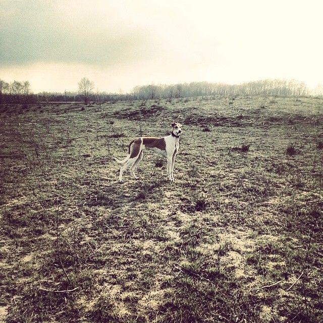 #greyhound #MagyarAgár #Alföld #Csipke