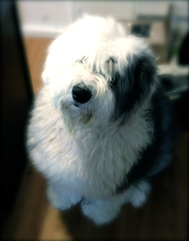 Barkley - Old English Sheepdog