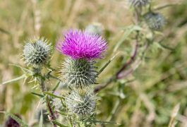 While milk thistle is a complementary and alternative medicine that's been used for thousands of years, it's not likely to bring about large amounts of weight loss. To lose weight, each day you need to burn more calories than you eat. The research is still very preliminary on the use of milk thistle -- and its active ingredient silymarin --...