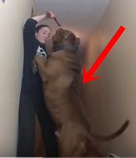 What The ! Meet Possibly The World's Biggest Pitbull, Hulk!