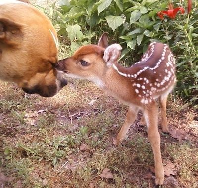 This baby deer is here to remind you that pit bulls are not monsters. People who raise them to be vicious are. interspecies-buddying