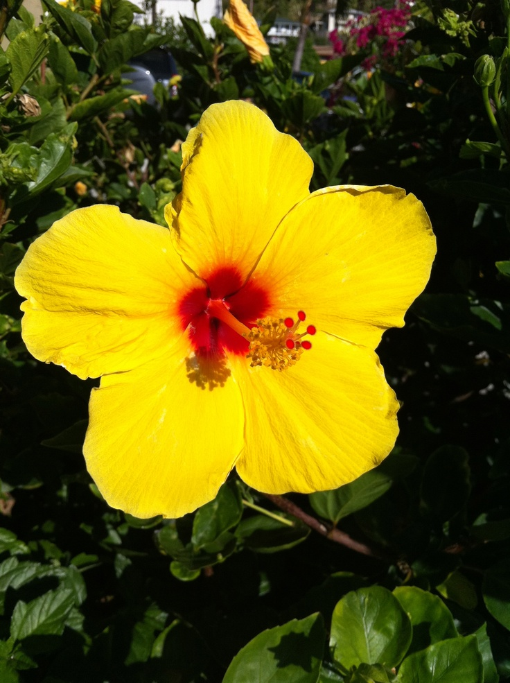 best flowers of hawaii images on, Beautiful flower