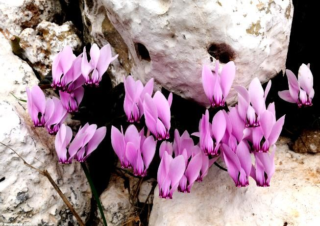 Greek cyclamen  In stony places and live rock crevices cyclamen Candia with characteristic very large flower 25 cm diameter.