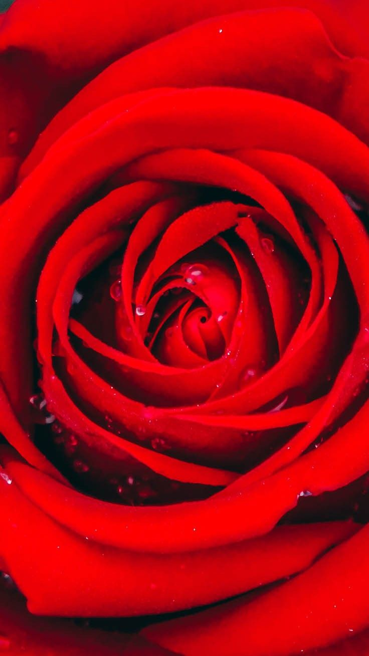29 Romantische Rosen Iphone X Hintergrundbilder Wallpaper Iphone Roses Flower Phone Wallpaper Iphone Wallpaper Glitter