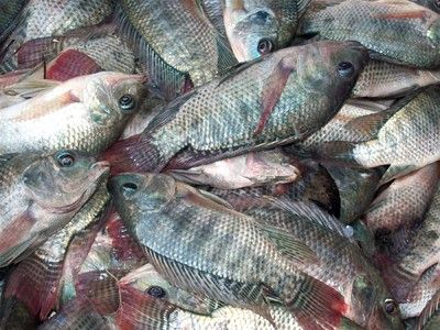 7 best images about bad for u on pinterest heart disease for What do tilapia fish eat