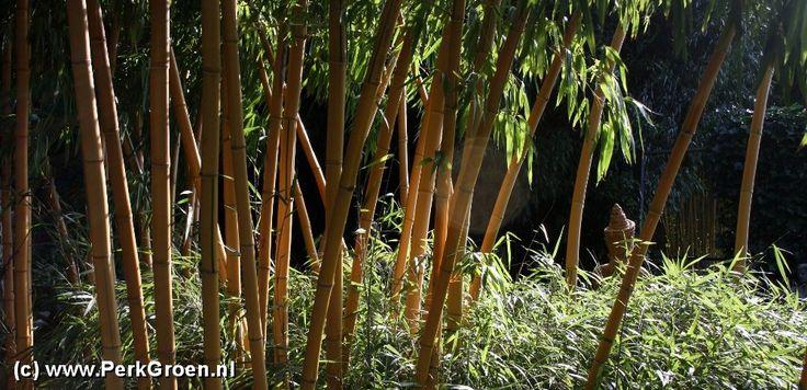 Bamboe Kwekerij bamboehaag bamboetuin bamboo bambu bamboe in bakken bamboeafscheiding