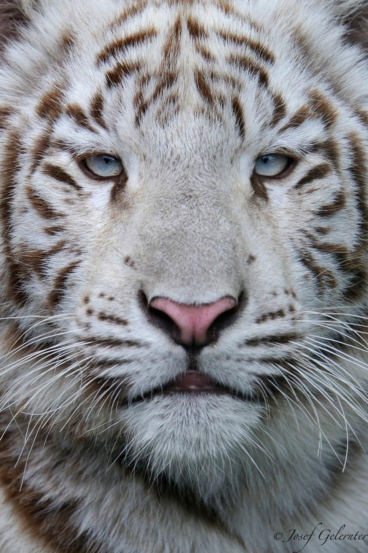white siberian tiger - photo #18
