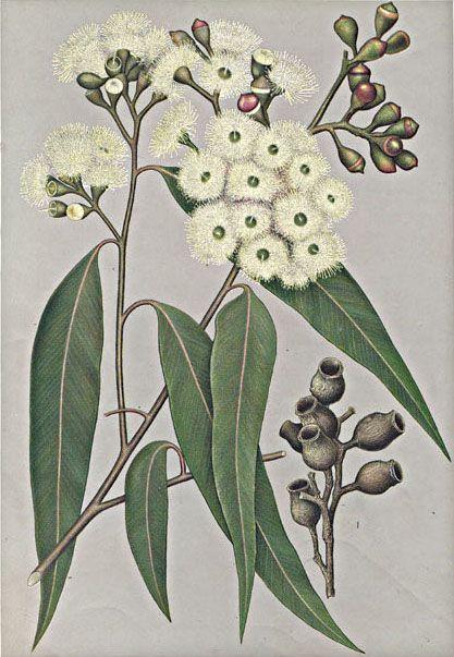 Eucalyptus maculata - Corymbia maculata