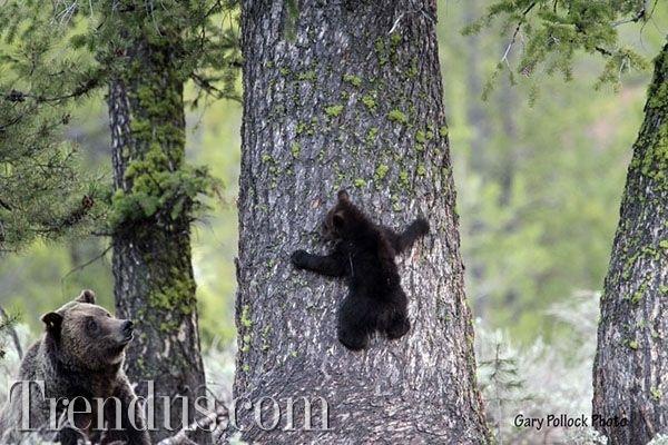 Anne ayılar yavrularını eğitiyor