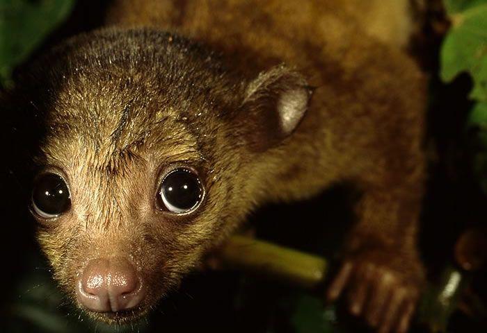 aka baby kinkajou animals fur rare animals exotic animals aka ...