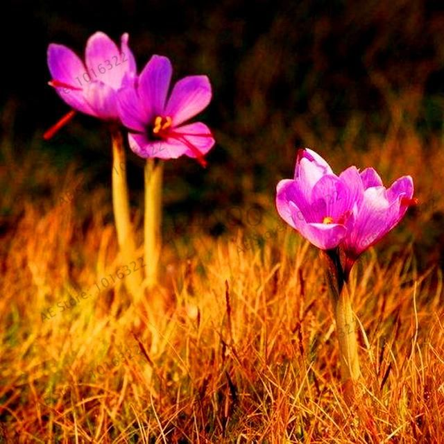 100pcs/bag saffron seeds crocus seed potted plants Temperate flower seeds for garden supplies easy grow