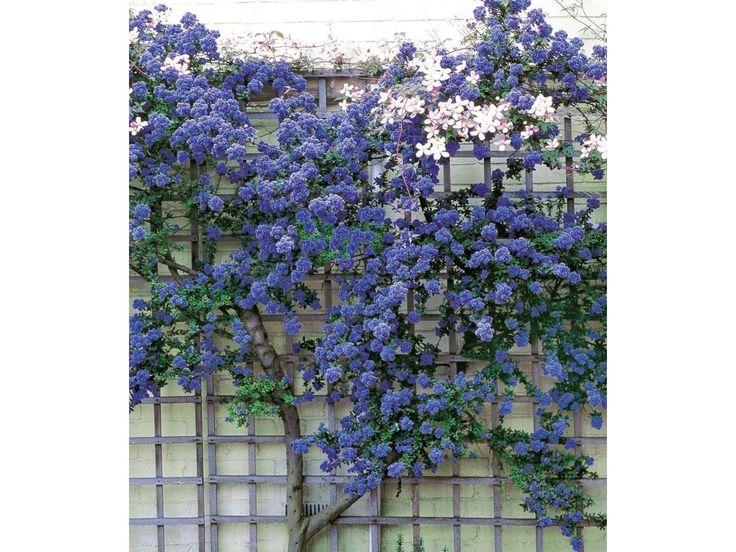 Immergrüne Säckelblume Ceanothus 'Trewithen Blue' im 2-Liter Container, 1 Pflanze 1
