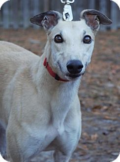 Cherry Hill, NJ - Greyhound. Meet Haystack, a dog for adoption. http://www.adoptapet.com/pet/16974005-cherry-hill-new-jersey-greyhound