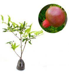 Pomegranate 60cm Rp 235,000