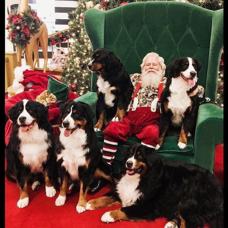 #SantaPictureGoals 😍🎅 @bruticusmontanalotussultanrio #bernesemountaindoglovers