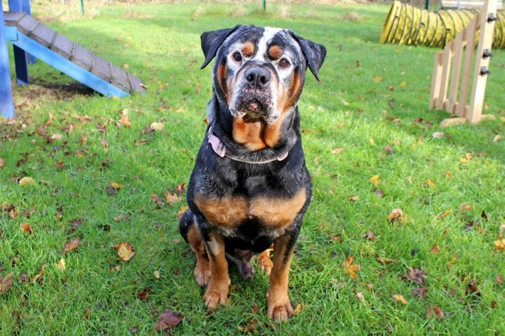 Beautiful rottweiler with vitiligo is looking for a forever home