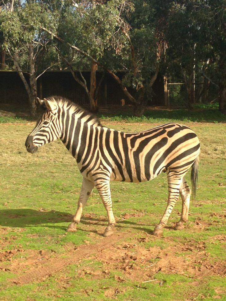 Werribee Open Range Zoo Events. Zebra viewing on safari!