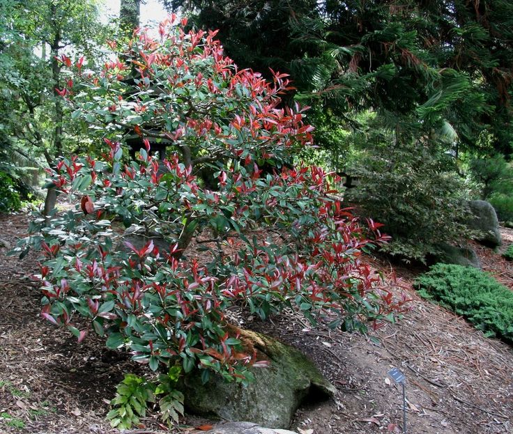 The red tip photinia is a popular shrub  It is important to provide the red tip photinia with a few basics to maintain a healthy plant and avoid photinia disease  Find out how to grow photinia shrubs in this article