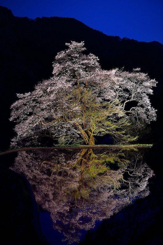 駒つなぎの桜 Ancient cherry tree in Sonohara, Achi, Nagano, Japan where warlord Yoshitsune Minamoto once tethered his horse about 500 years ago. Some types of cherry trees are very long-lived, like this Edohigan, some estimated at 2000 years old. http://sakura.yahoo.co.jp/spot/detail/9f3f0ae704bfbc2afae7f498bb3e2c10dff17674/