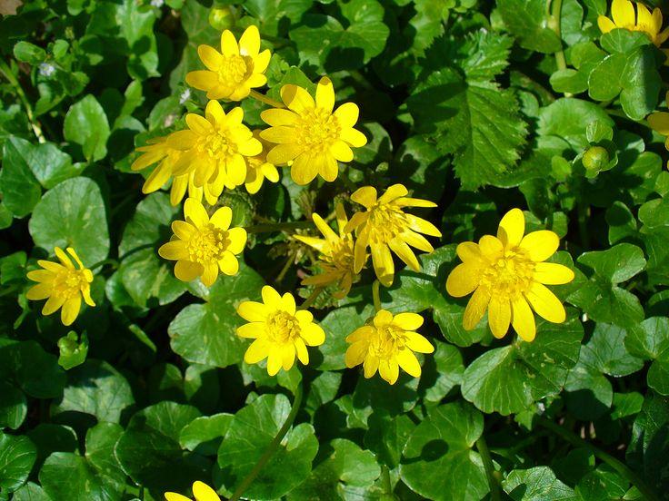 Orsej jarní (Ficaria verna) pryskyřníkovité  (Ranunculaceae)