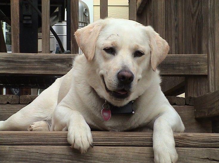 5 indok, amiért a labrador a legjobb választás, vakvezetőnek - Hírek #labrador #dog #kutya #kutyabaráthelyek #vakvezető